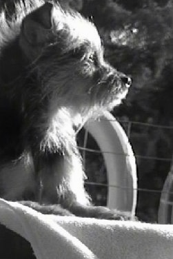 A black and white photo of Kodiak the Chorkie who is laying on a chair outside and looking to the right