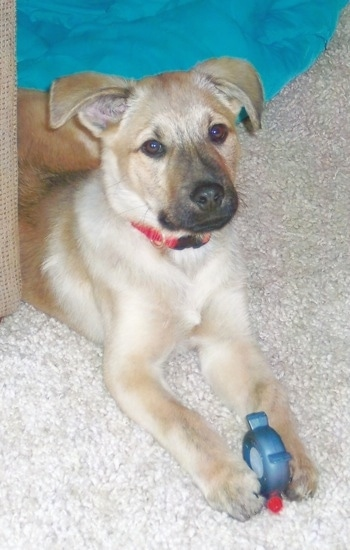 Louie the Chow Shepherd as a puppy at 3 months old.