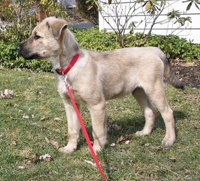 Louie the Chow Shepherd as a puppy wearing a red collar and red leash standing on grass and looking to the leftwith a house and bushes in the background