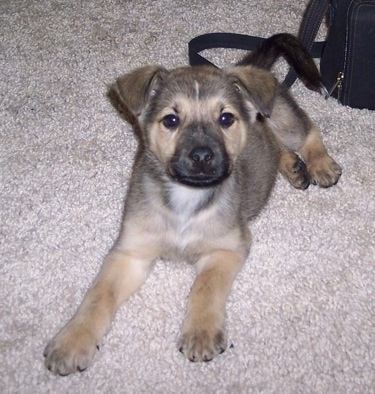 Louie the Chow Shepherd as a puppy laying on a tan carpet in front of a black purse and looking at the camera holder
