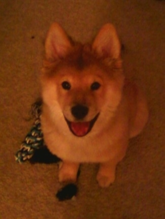 Bear the Chusky is sitting on a carpeted floor with a rope toy next to him with his mouth open looking up happily