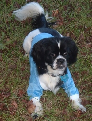 Tornado the Cock-A-Tzu is wearing a shiny blue shirt and laying outside in the grass looking forward