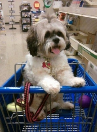 Mimi the Cock-A-Tzu is sitting in the top part of a blue shopping cart and there is a purple ball next to her. Mimi's mouth is open and her tongue is out