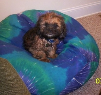 Max the Cock-A-Tzu is sitting on a blue and green bean bag chair and looking at the camera holder