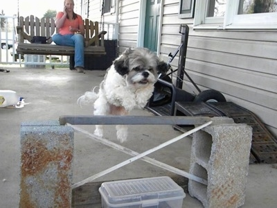 Mimi the Cock-A-Tzu is jumping over a bar that is held up by two concrete cinder blocks. A person in the background is sitting on a wooden porch swing glider and watching Mimi jump as she talks on her cell phone.