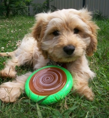 Biscuit the Cockapoo puppy is laying in a backyard and there is a green frisbee with a brown and white swirl in the middle between her two front paws