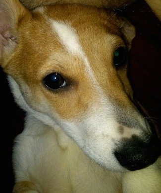 Winston the Cojack (Pembroke Welsh Corgi/Jack Russell Terrier hybrid dog) at about 1 year old.