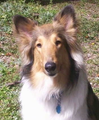 Sasha the rough collie at 2 years old.