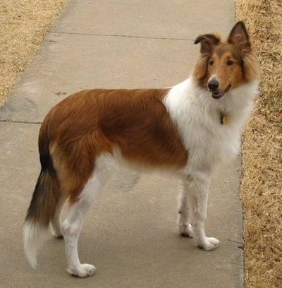 Side view - Strider the Rough Collie is standing on a sidewalk and looking to the left