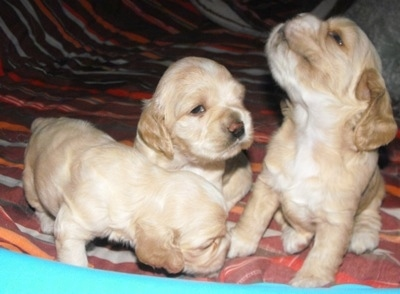 Three tan Colonial Cocker Spaniel puppies are all up on a human's bed
