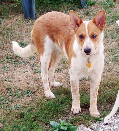Lilly the Australian Cattle Dog/ Pembroke Corgi mix (Corgi Cattle Dog ...