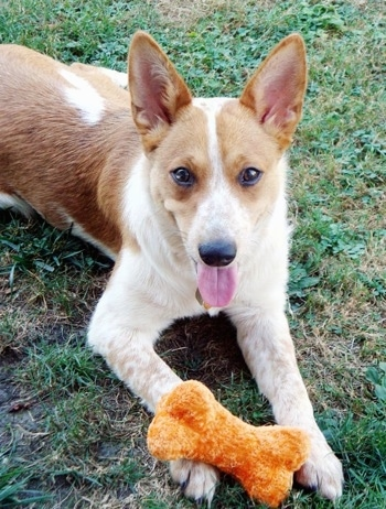 Lilly the Corgi Cattle Dog is laying outside and looking at the camera holder with a rust orange  plush dog bone toy on its paw