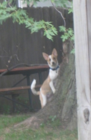 Laika the Corgi Cattle Dog is outside jumped up against a tree and looking into the house at the camera holder