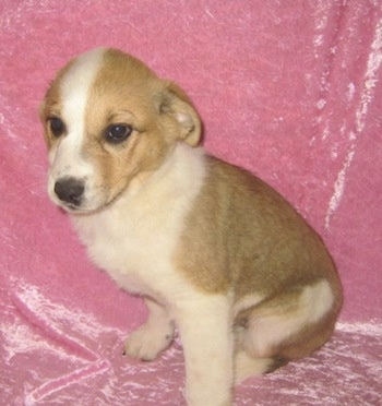 Laika the Corgi Cattle Dog as a young puppy sitting against a shiny pink backdrop