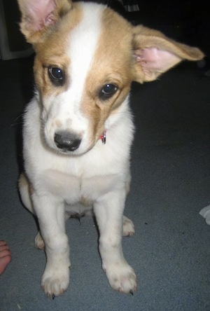 Close Up - Laika the Corgi Cattle Dog as a puppy is sitting on a carpet and looking at the camera holder with its head tilted to the right
