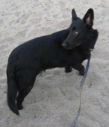 Charlie the black Corgidor is walking on a beach and looking behind himself
