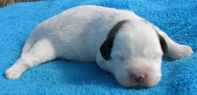 Newborn Corgipoo Puppy is sleeping on a blue towel with its back left leg spread outward