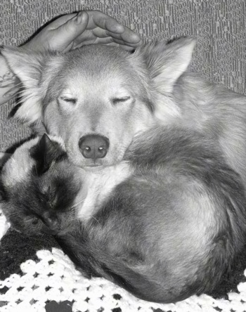 Cash the Coydog is sleeping on a couch with his head on Grace the cat. A person is petting his head