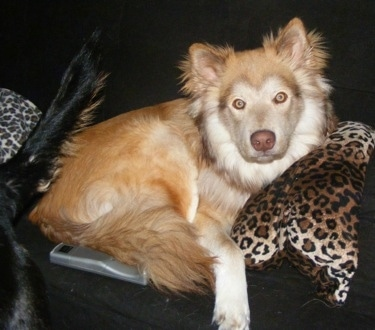 Cash the medium-haired fluffy tan and white Coydog is laying on a black couch on top of a leopard print pillow, in front of a upside down remote. There is a Dog with a black tail walking away