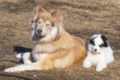 Cash the Coydog with his Border Collie puppy friend.