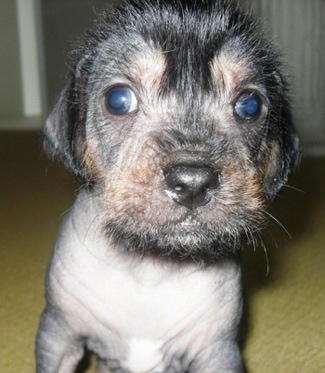 Close Up - Hairless Crested Cavalier puppy is sitting on carpet and looking at the camera holder
