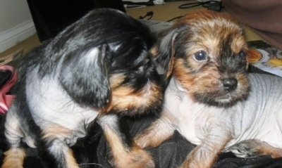 Close Up - Two Crested Cavalier Puppies sitting on gray fabric