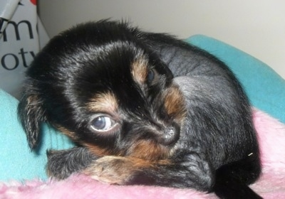 Close Up - Crested Cavalier puppy is laying down curled in a ball on a pink blanket and a teal blanket