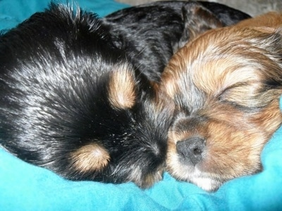 Close Up - Two Crested Cavalier puppies are sleeping on a teal-blue blanket