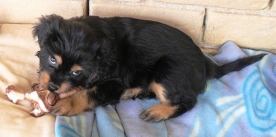 A Crested Cavalier puppy is laying on a blanket and chewing on a dog bone toy with a yellow brick wall behind it