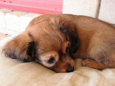 A brown coated Crested Cavalier puppy is laying down outside on a dog bed