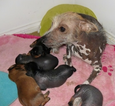 Five Newborn Crested Cavalier puppies are sleeping on a pink blanket with the Chinese Crested hairless dog mother that is looking to the left