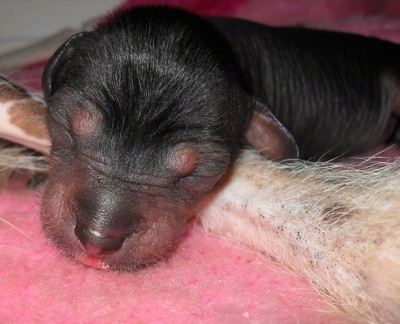 Close Up - Newborn Crested Cavalier puppy is sleeping on the leg of the Chinese Crested Hairless Dog