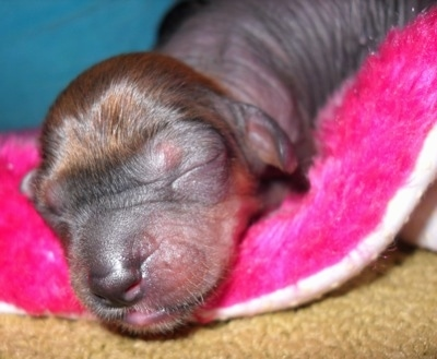 Close Up - Newborn Crested Cavalier Puppy is sleeping on the edge of a hop pink blanket