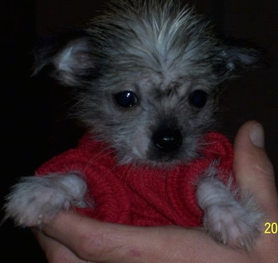 PeeWee the Crested Peke puppy is wearing a red knit sweater in the hands of a person and being held up in the air
