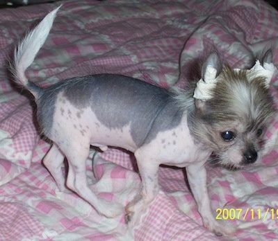PeeWee the hairless Crested Peke puppy walking across a human's pink blanketed bed and looking to the right. His ears are taped to stand up
