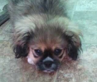 Tambuchi the Crested Peke Puppy is laying on a brown tiled floor and looking towards the camera holder