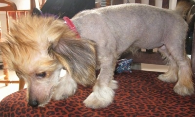 Chinese Crested Dachshund Mixed Breed Dogs Information And Pictures