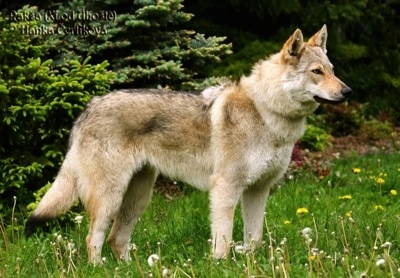 Raksha the Czechoslovakian Wolfdog is standing outside in a lawn full of dandelions with evergreen trees behind her.