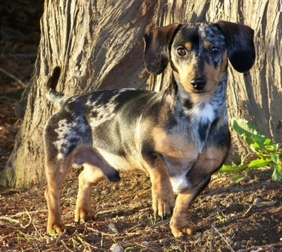 Buddy the silver dapple tweenie Dachshund is standing in front of a large tree. Its front left paw is in the air