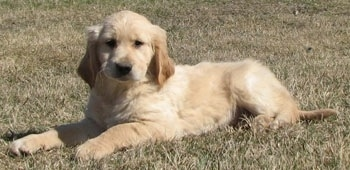 A cream Golden Cocker Retriever puppy is laying outside in grass.
