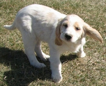 A white with cream Golden Cocker Retriever puppy is standing in grass shaking its head with its ear flopping out