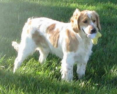 A white with Golden Cocker Retriever is standing in a grassy field with a plush toy in its mouth