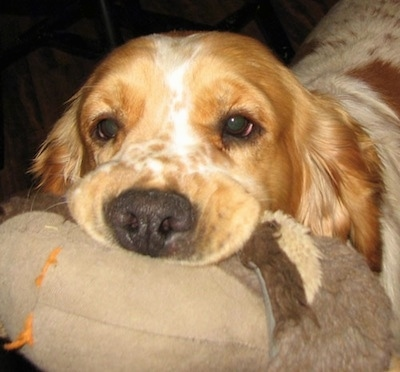 Close Up - A white with Golden Cocker Retriever has a tan and brown plush toy in its mouth