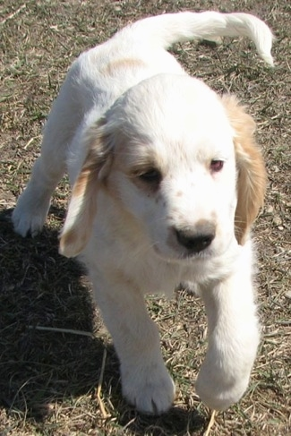 A white with cream Golden Cocker Retriever puppy is trotting through a field