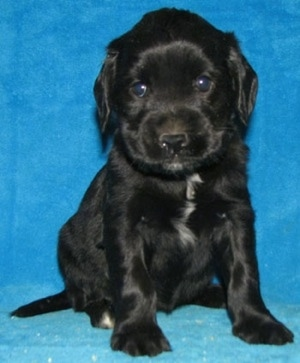 A little black with white Golden Cocker Retriever is sitting against a blue backdrop.