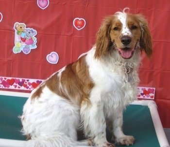 A white and Golden Cocker Retriever is sitting on a green and white platform. There is a red backdrop behind it with valentine hearts all over it.