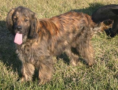 A panting black brindle Golden Cocker Retriever is standing in a field and there is a black dog behind it.