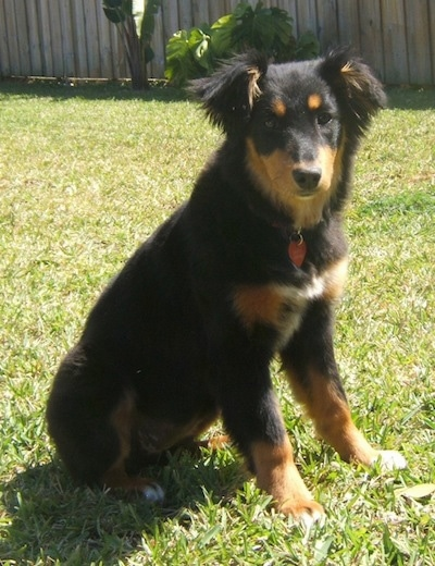 Shayla the black and tan Dakotah Shepherd is sitting in a grassy yard and looking forward with a wooden fence behind her