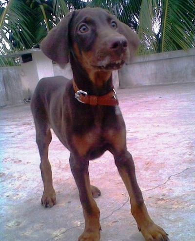 Caesar the Doberman Pinscher puppy is standing on a roof with a stone wall lining the edge. He looks like he saw something that scared him.
