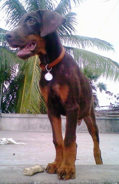 Caesar the brown and tan Doberman Pinscher puppy is standing on a roof with a stone wall around the edges next to a rawhide dog bone toy. His mouth is open and he is looking to the left